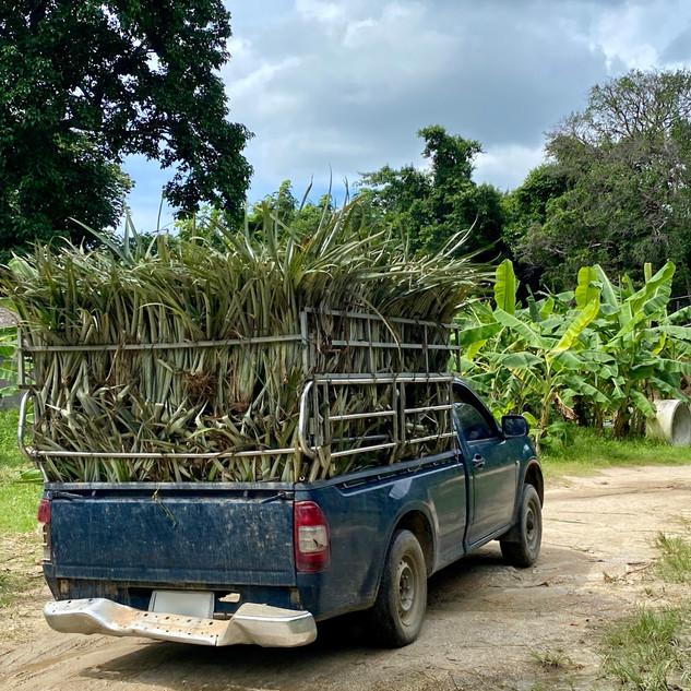 Truck of pineapple grass