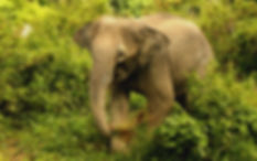 Fah Sai, Tree Tops Elephant Reserve
