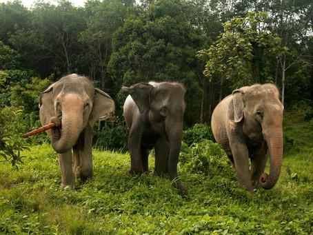 The importance of socialising elephants in captivity.