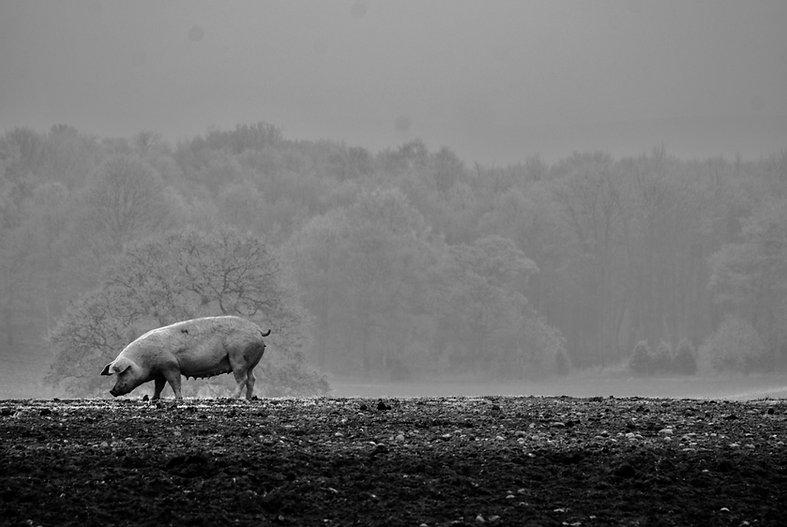 SLC dirty pig background 3.jpeg