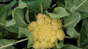 Cauliflower under Shade Net House