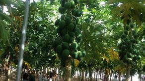 Papaya Farming under Shade Net House