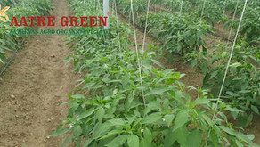Green Chilli under Shade Net House