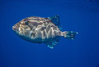 Azorean Fish