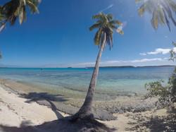 Palm Tree Tonga