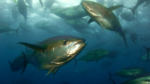 Migratory Tuna Spawn Inside Pacific Marine Protected Area