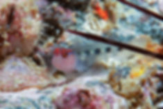 Goby in Reef