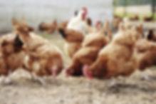 Free Range Poultry Farm Milwaukee, WI