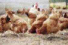 Free-range/organic system hens grazing the floor.