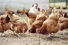 フリーレンジ家禽農場