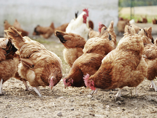 CALIFORNIA FREE OF VIRULENT NEWCASTLE DISEASE