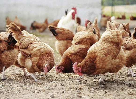 Granja de Pollos