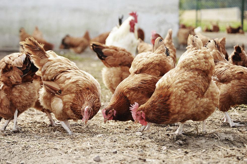 élevage de volaille par Labovet Conseil
