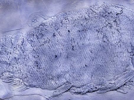 """貴州發現 2.44 億年前 大型""""盤州暴魚"""":駝背凌厲肉食性"""