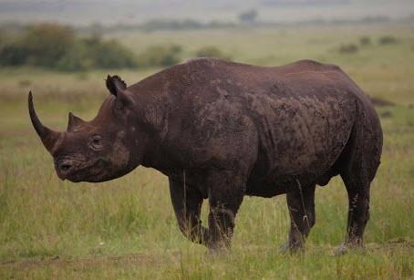 旅遊禁令阻斷銷售管道非洲犀牛逃過一劫