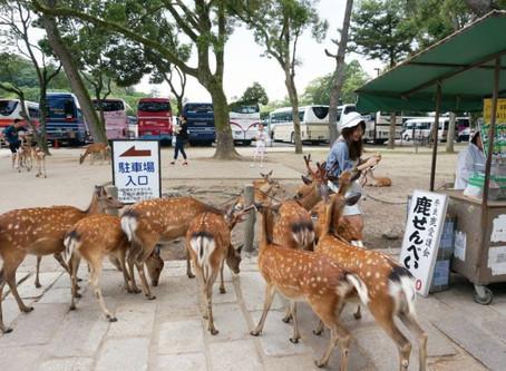 日本奈良鹿骨瘦如柴 專家推測恐鹿餅成癮