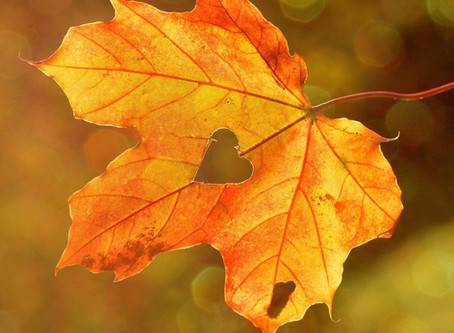 Benefits of Maple Leaf Extract for skin.
