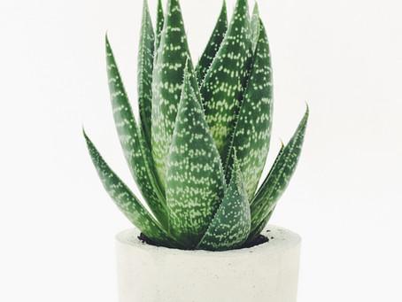 Aloe Vera in Skincare