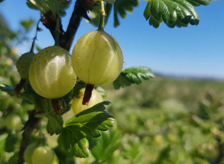 Indian Gooseberry (Amla) in Skincare