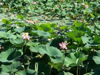 Фестиваль «Лотос — Каспия цветок»