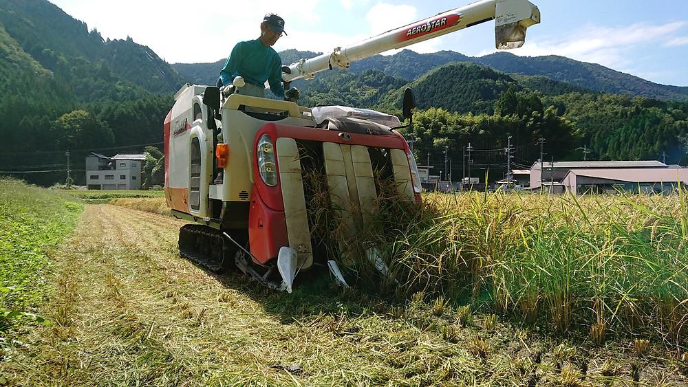 稲刈りを行っている光景