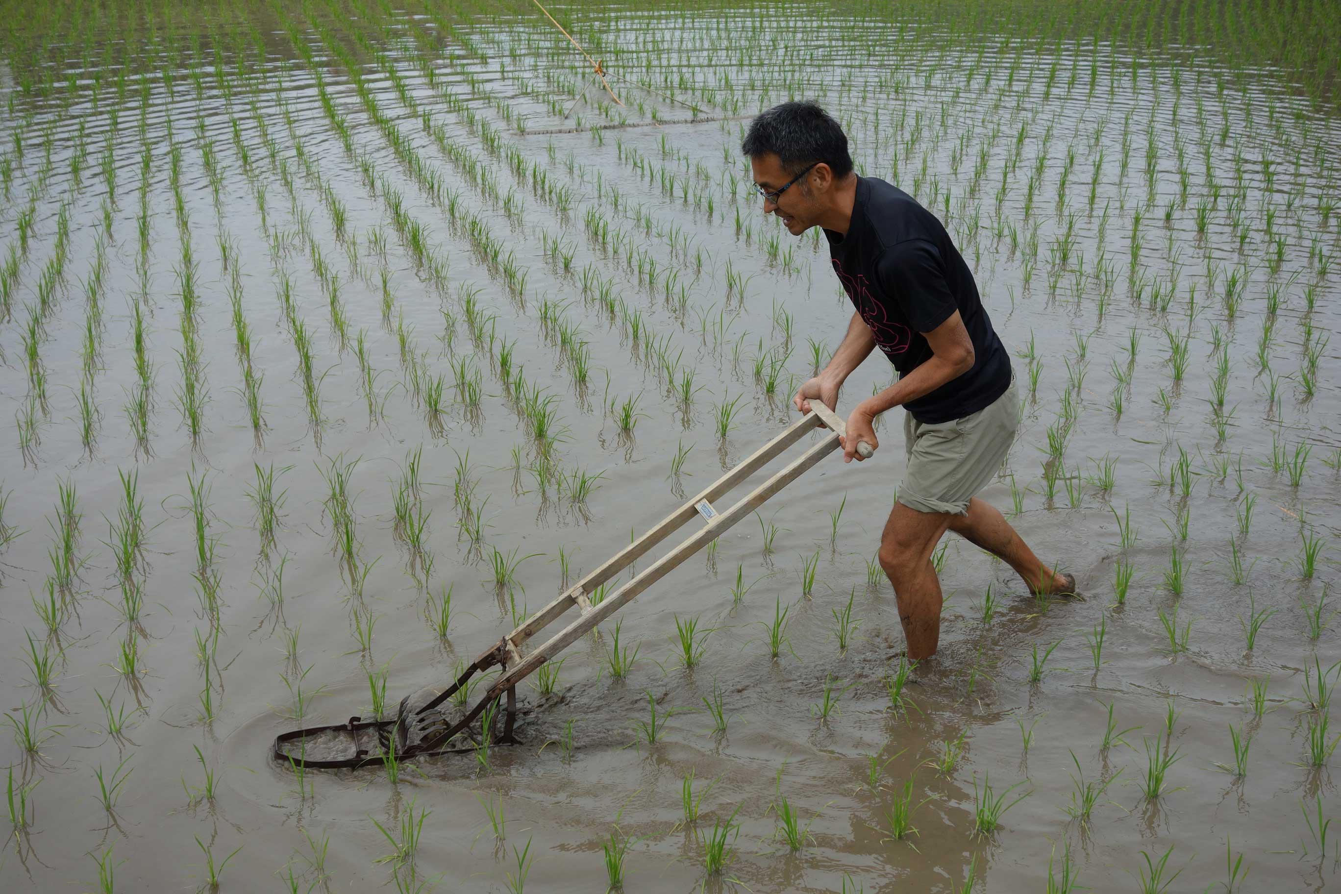 コロガシという道具を使って、土をかきまぜて草を浮かせたり、沈ませます