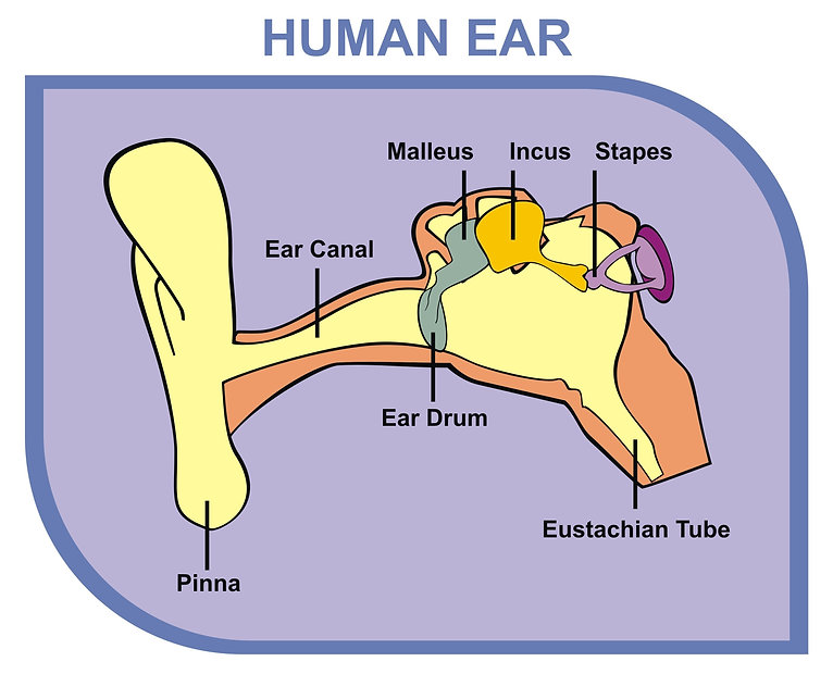 Human Ear - Including External, Middle &