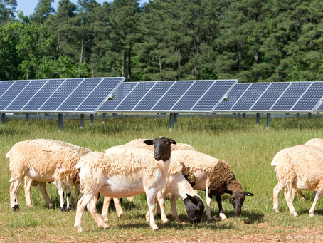 Solar-Sheep Farms Are the Way to Go