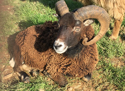 Silver, our gentle Soay ram