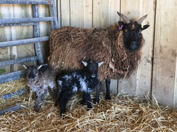 Lambs are born early April