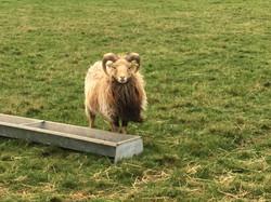 Edward, our young Ronaldsay ram
