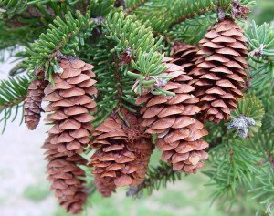 Spruce (White)