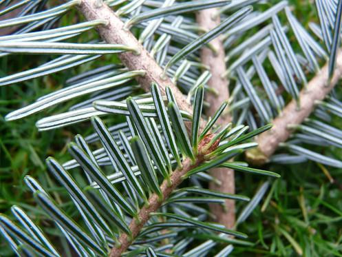 Fir Needle (Siberian Silver)