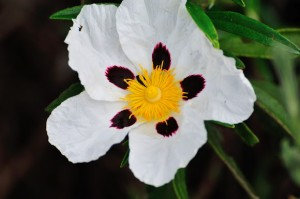 Cistus (Rock Rose, Specify Absolute/Thick or Steam Distilled/Thin)