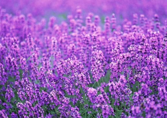 Lavender (NW)