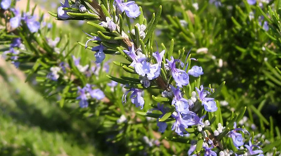 Rosemary (Hi-Camphor)