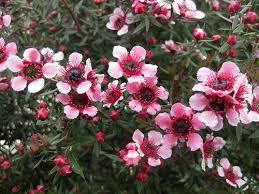 Manuka (Leptospermum)
