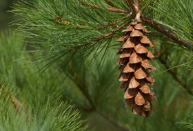 Pine (White, Cones Only,Local Wildcrafter's Boutique)