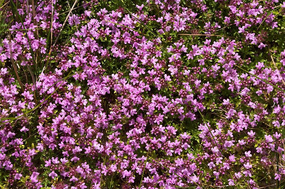 Thyme (Red, Thymol)