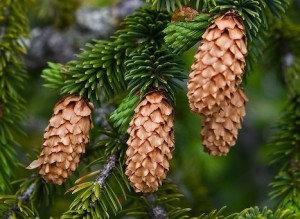 Spruce (Sitka)