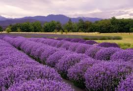Lavender (Bulgaria)