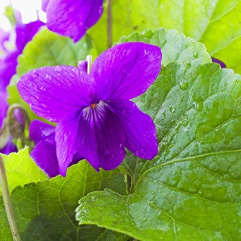 Violet (Reconstituted, Includes Some Nature-Indentical & Syn. Elements)