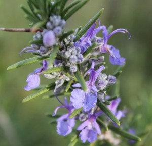 Rosemary (Verbenone)
