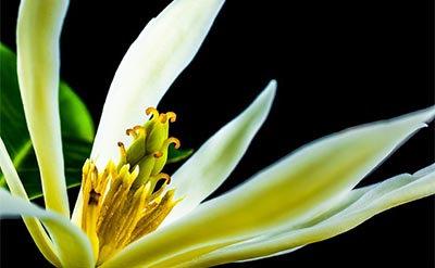 Champaca Flower (Concrete, Salve-like consistency)
