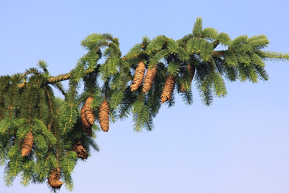 Norway Spruce Spray