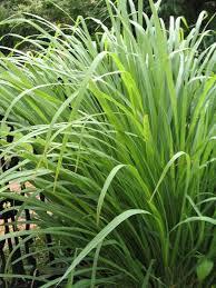 Lemongrass (American)