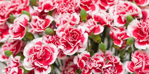 Carnation (Absolute, Egypt)
