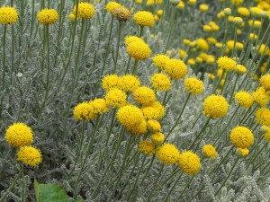 Santolina (Lavender Cotton)