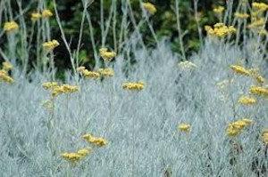 Helichrysum, Immortelle (Italicum, Morocco)