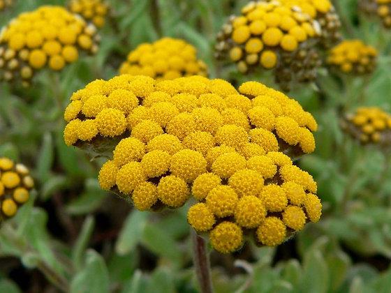 Helichrysum (Gymnocephalum)